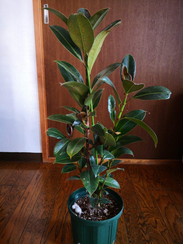 2年半後のダイソーゴムの木