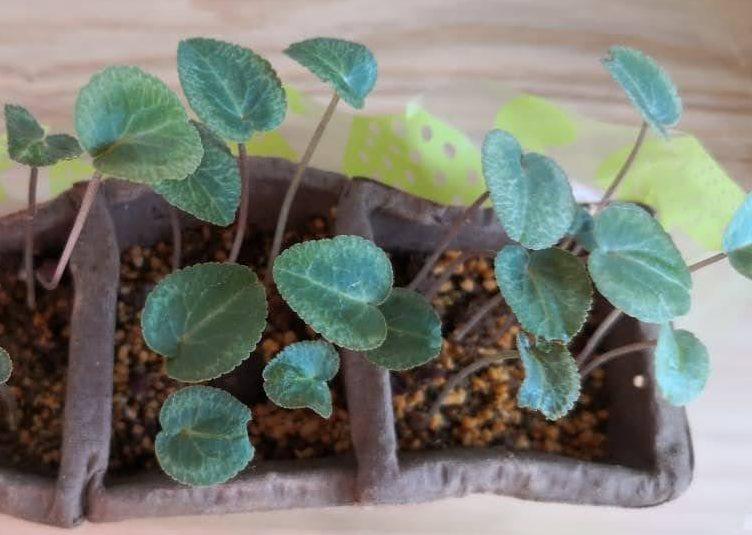 交配したシクラメンの芽