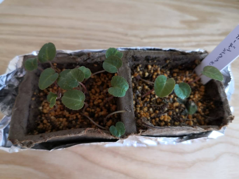 ガーデンシクラメンの芽